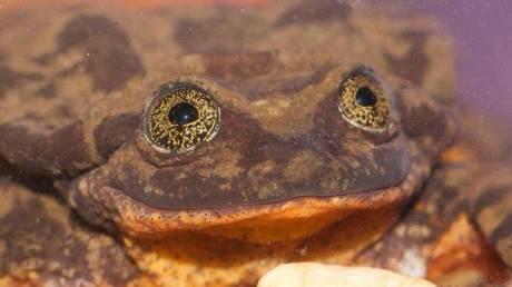Ρωμαίος: Ο πιο μοναχικός βάτραχος του κόσμου βρήκε την... Ιουλιέτα του!