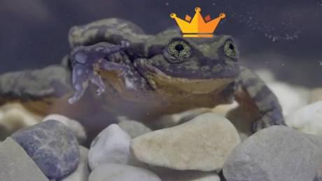 Βάτραχος, μόνος… βρήκε! Ρωμαίος και Ιουλιέτα ετοιμάζονται να σώσουν το είδος τους