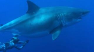 Δύτες κολύμπησαν δίπλα σε λευκό καρχαρία - γίγας στη Χαβάη