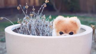 Πέθανε ο Boo, o ομορφότερος σκύλος στον κόσμο