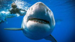 Ένας… «ευγενικός γίγαντας»: Κολυμπώντας δίπλα σε ένα θηριώδη λευκό καρχαρία
