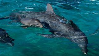 Μοναδικές στιγμές για σέρφερ στην Καλιφόρνια: Έπαιξαν μαζί του τρία δελφίνια