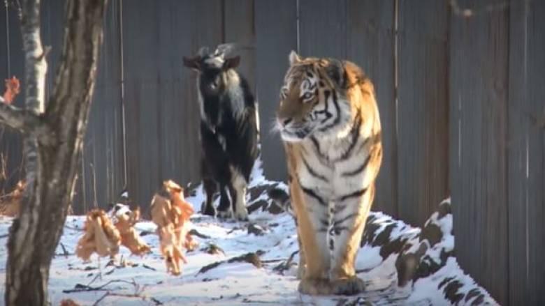 Τίγρης και… τράγος: Όταν ο Αμούρ «παράτησε» τον Τιμούρ