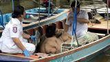 Επιχείρηση διάσωσης ενός Ταϊλανδού 320 κιλών
