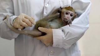Κλωνοποιήθηκαν γενετικά τροποποιημένες μαϊμούδες για να έχουν νευροψυχικές διαταραχές