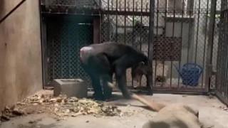Απολαυστικό βίντεο: Ο πιο νοικοκύρης χιμπατζής καθαρίζει με... σκούπα