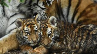 Δουβλίνο: Επίσημη πρεμιέρα για τα τιγράκια Amur
