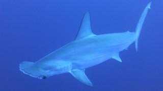 Σάλος στη Βρετανία: «Fish and chips» σερβίρουν... καρχαρίες υπό εξαφάνιση!