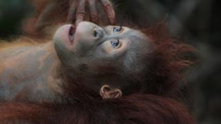 Τεστ πατρότητας σε μωρό ουρακοτάγκο αποκάλυψε… κρυφή σχέση!