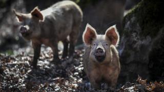 Ρωσίδα βρήκε φρικτό θάνατο: Γουρούνια την έφαγαν ζωντανή