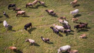 Καρπενήσι: «Συνέλαβαν» αδέσποτες αγελάδες που είχαν αναστατώσει ένα ολόκληρο χωριό!