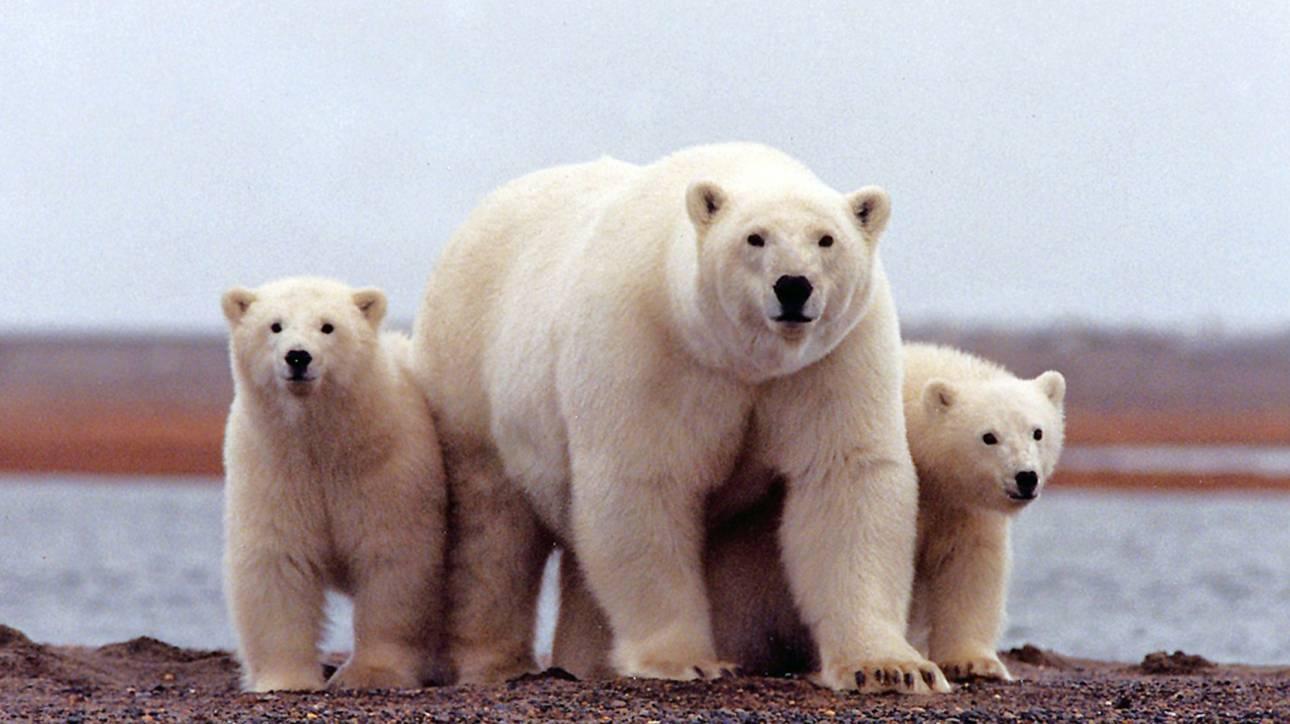Τρόμος στη Ρωσία: 52 πολικές αρκούδες εισέβαλαν σε χωριό ψάχνοντας για φαγητό