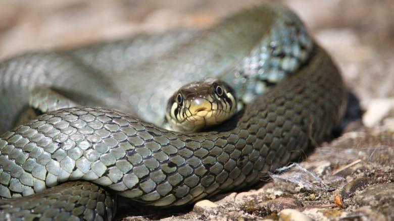 Αστυνομικοί στην Ινδονησία «τύλιξαν» ύποπτο με φίδι για να αποσπάσουν την ομολογία του