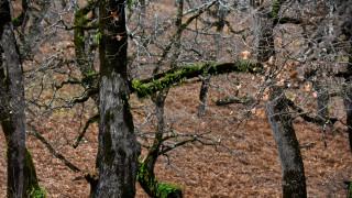 Αιτωλοακαρνανία: Λαθροϋλοτόμοι έκοψαν αιωνόβιες βελανιδιές