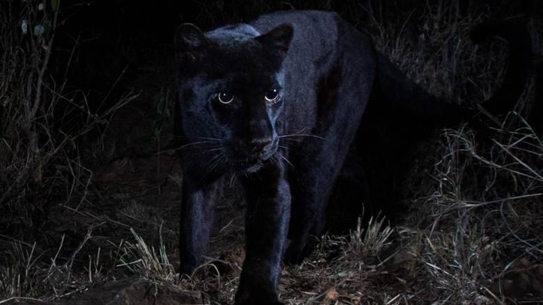 Η «μυθική» μαύρη λεοπάρδαλη φωτογραφήθηκε μετά από 100 χρόνια