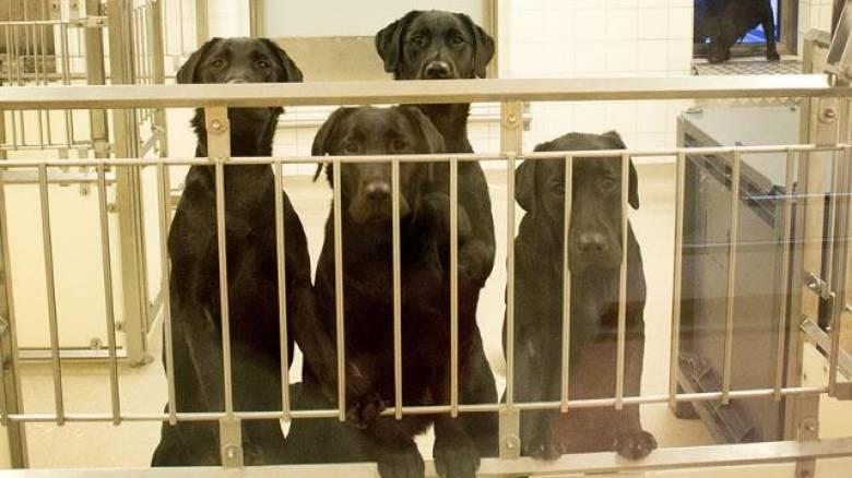 Σουηδία: Οργή για έξι σκύλους που θα θανατωθούν μετά το τέλος εργαστηριακού πειράματος