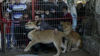 Απάνθρωπο: Έβγαλαν τα νύχια λιονταριού με πένσα για να παίζουν μαζί του οι επισκέπτες