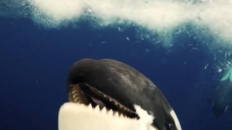 Συνάντηση γεμάτη εκπλήξεις: Το «δωράκι» μιας φάλαινας όρκας στη… φωτογράφο του