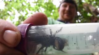 Βρέθηκε γιγάντια μέλισσα, είναι ζωντανή και το μέγεθός της… τρομάζει! (vid)