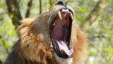 Ασύλληπτη τραγωδία: Την κατασπάραξε λιοντάρι γιατί μια μπάλα «μπλόκαρε» την πόρτα του κλουβιού του