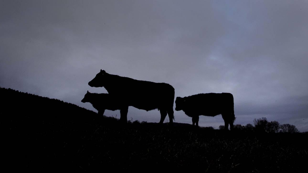 Αυστρία: Αγελάδα σκότωσε τουρίστρια και την πλήρωσε ο... κτηνοτρόφος