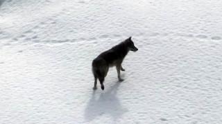 Έσωσαν λύκο από παγωμένο ποτάμι επειδή τον πέρασαν για... σκύλο!
