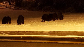 Θεσσαλονίκη: Αγριογούρουνα βγήκαν βόλτα στην πόλη μέσα στο χιονιά