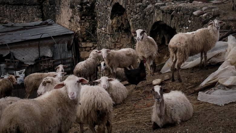 Γρεβενά: Βγάζουν σε ηλεκτρονικό πλειστηριασμό… 200 πρόβατα