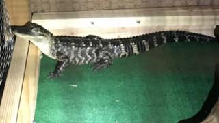 Προσοχή… δαγκώνει! Αντί για σκύλο είχαν επιστρατεύσει αλιγάτορα να φυλάει… ναρκωτικά και μετρητά
