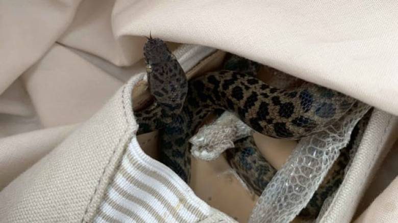 Απρόσμενος λαθρεπιβάτης: Επέστρεψε από διακοπές και βρήκε έναν… πύθωνα κρυμμένο στο παπούτσι της
