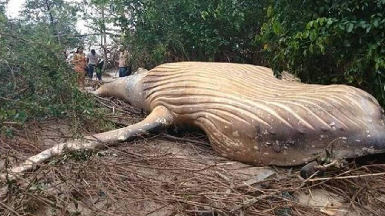 Μυστήριο στον Αμαζόνιο: Φάλαινα βρέθηκε νεκρή μέσα στη ζούγκλα