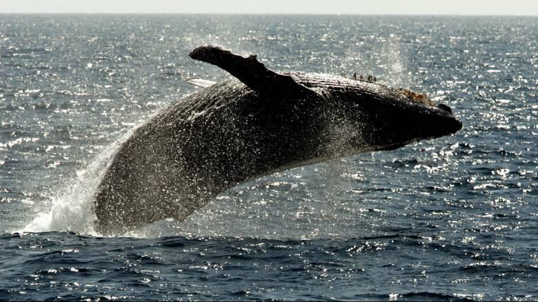 Free... Willy! Ελευθερώνονται οι «φυλακισμένες φάλαινες» της Ρωσίας