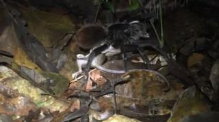 Εικόνες βγαλμένες από ταινία… τρόμου: Ταραντούλα κατασπαράσσει οπόσουμ