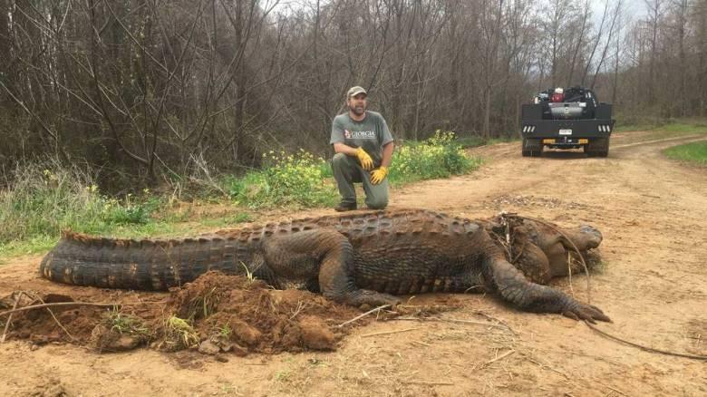Αλιγάτορας - γίγας 4 μέτρων και 317 κιλών βρέθηκε στη Τζόρτζια