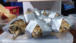 Φιλιππίνες: Βρήκαν σε αποσκευές 1.500 σπάνια χελωνάκια τυλιγμένα με μονωτική ταινία