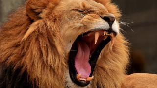Τσεχία: Ένας 33χρονος σκοτώθηκε όταν του επιτέθηκαν τα λιοντάρια... που κρατούσε στο σπίτι του