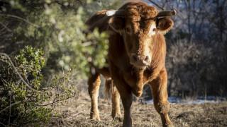 Τραγωδία στην Κόρινθο: Αφηνιασμένος ταύρος σκότωσε έναν 71χρονο και τραυμάτισε αστυνομικό