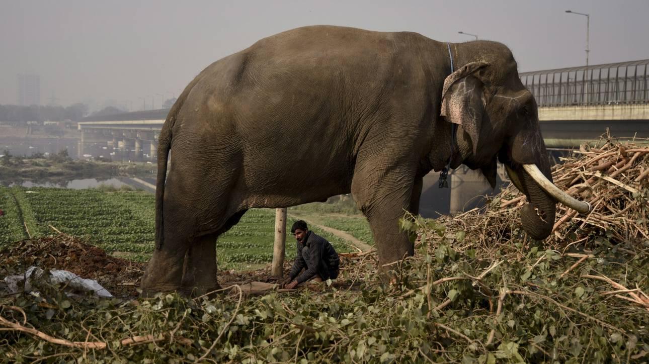 Ελέφαντας έκατσε πάνω στον εκπαιδευτή που τον μαστίγωνε και τον σκότωσε