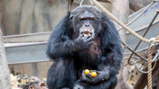 Επισκέπτες ζωολογικού έδωσαν ναρκωτικά σε χιμπατζή και παραλίγο να πεθάνει