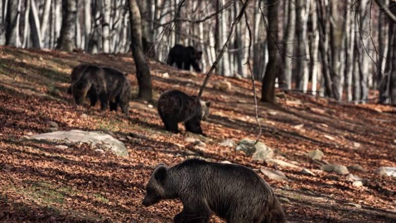 Καταφύγιο Αρκτούρου: Ξύπνησαν από τη χειμερία νάρκη κι άρχισαν τις βόλτες οι αρκούδες