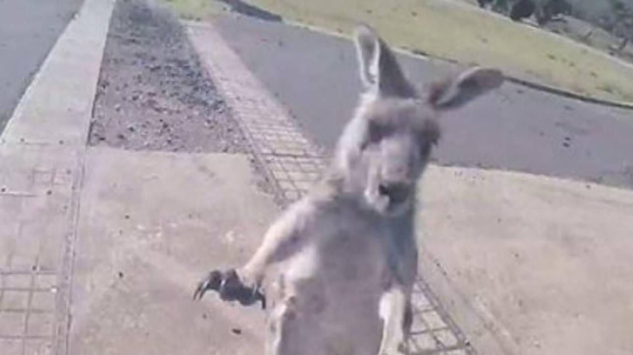 Απίθανο βίντεο: Προσγειώθηκε με ασφάλεια αλλά τον άρχισε στις μπουνιές ένα… καγκουρό!