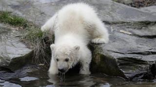 Πολικό αρκουδάκι κάνει τα πρώτα του βήματα στο Βερολίνο και εντυπωσιάζει