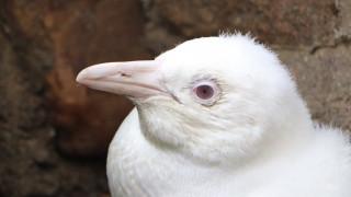 Ο πρώτος αλμπίνος πιγκουίνος σε αιχμαλωσία έκανε την πρώτη δημόσια εμφάνισή του