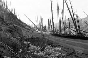 1982 Μετά την ολική καταστροφή που προκάλεσε η έκρηξη του ηφαιστείου στο όρος της Αγίας Ελένης, μικρά λουλούδια αρχίζουν να φυτρώνουν ανάμεσα στις στάχτες.