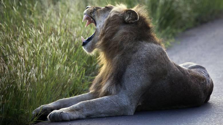 Λαθροκυνηγός σκότωσε οικογένειες μπαμπουίνων, τους πρόσφερε σε λιοντάρια και εκείνα τον κατασπάραξαν
