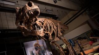 Βρέθηκε ο «βασιλιάς» όλων των τυραννόσαυρων Rex