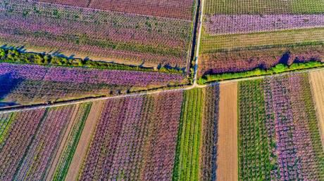 Εικόνες βγαλμένες από παραμύθι: Οι μαγευτικές ροδακινιές της Ημαθίας
