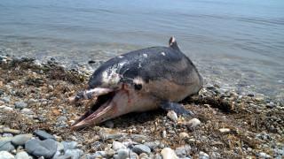 Ενδείξεις για Αλτσχάιμερ σε δελφίνια που βρέθηκαν σε ακτές