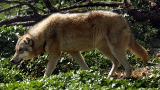 Αγέλη λύκων εμφανίστηκε μέσα στην πόλη της Φλώρινας