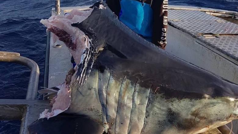 Μυστήριο με γιγάντιο αποκεφαλισμένο καρχαρία που βρέθηκε στο νερό - Τι πλάσμα τού πήρε το κεφάλι;